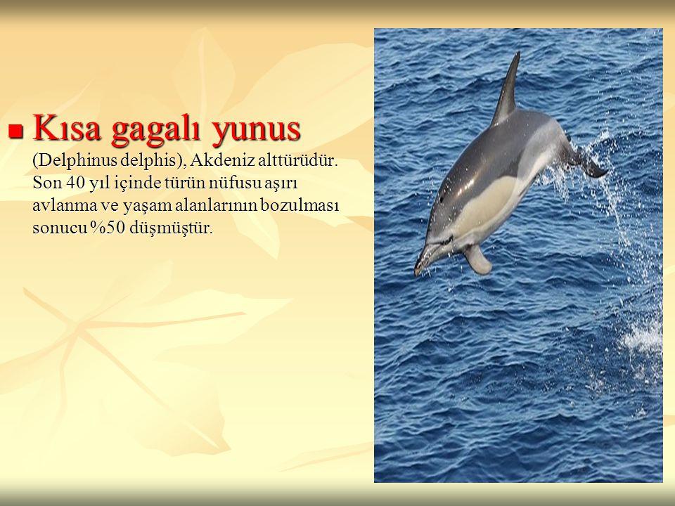 Kısa gagalı yunus (Delphinus delphis), Akdeniz alttürüdür