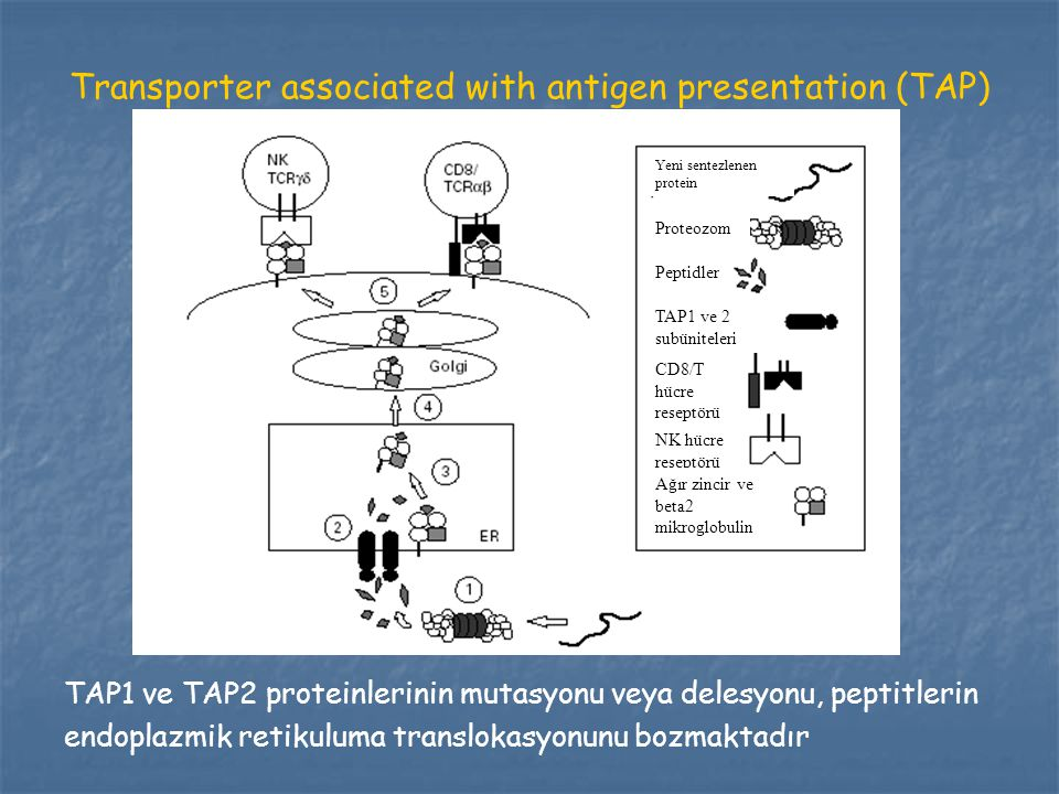 Transporter associated with antigen presentation (TAP)