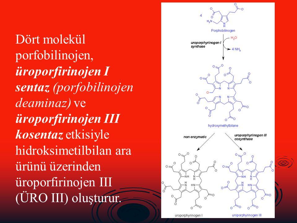 Dört molekül porfobilinojen, üroporfirinojen I sentaz (porfobilinojen deaminaz) ve üroporfirinojen III kosentaz etkisiyle hidroksimetilbilan ara ürünü üzerinden üroporfirinojen III (ÜRO III) oluşturur.