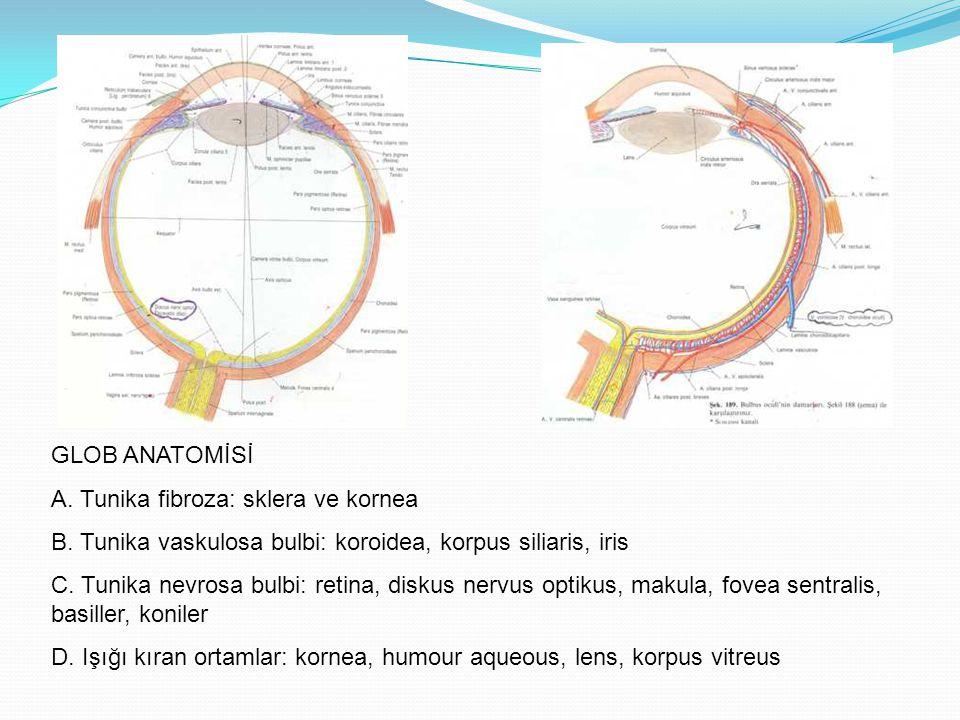 GLOB ANATOMİSİ A. Tunika fibroza: sklera ve kornea. B. Tunika vaskulosa bulbi: koroidea, korpus siliaris, iris.