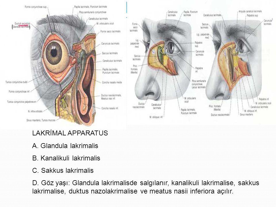 LAKRİMAL APPARATUS A. Glandula lakrimalis. B. Kanalikuli lakrimalis. C. Sakkus lakrimalis.