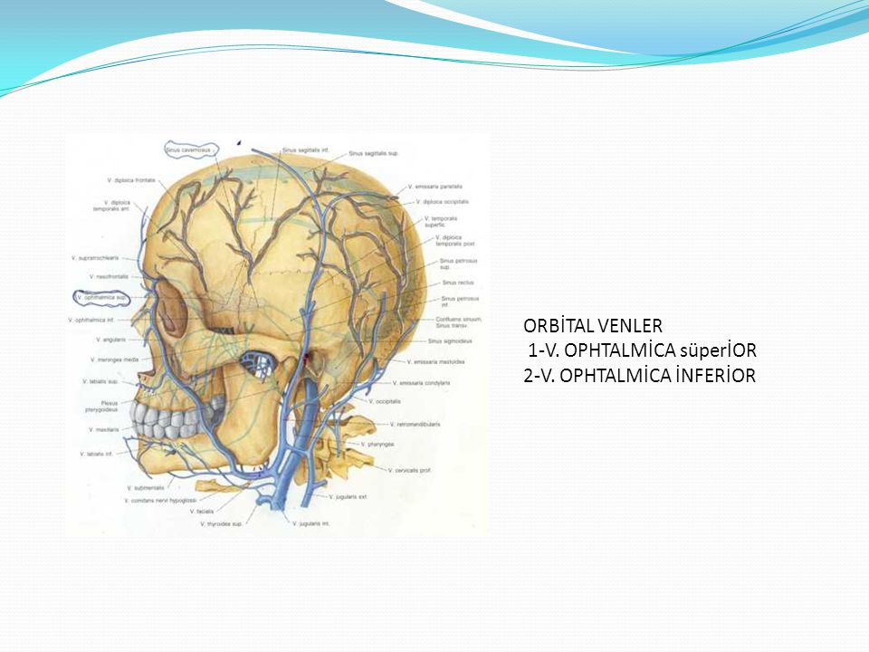 ORBİTAL VENLER 1-V. OPHTALMİCA süperİOR 2-V. OPHTALMİCA İNFERİOR