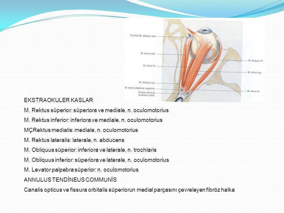 EKSTRAOKULER KASLAR M. Rektus süperior: süperiora ve mediale, n. oculomotorius. M. Rektus inferior: inferiora ve mediale, n. oculomotorius.