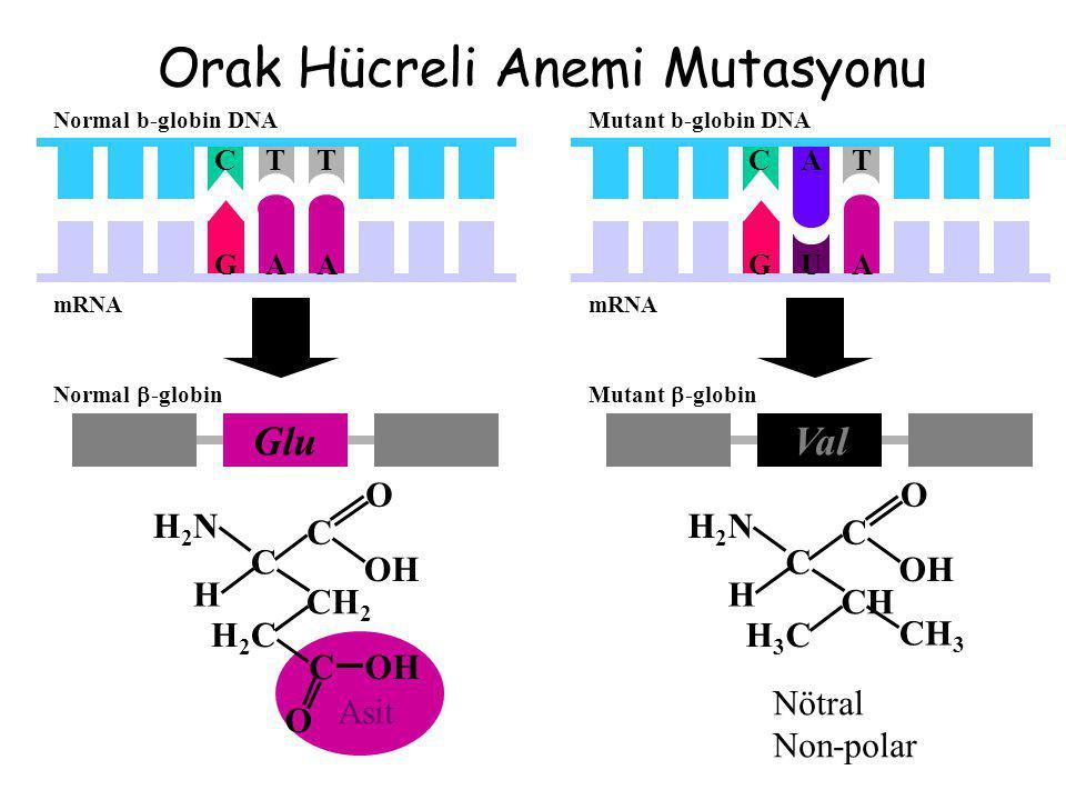 Orak Hücreli Anemi Mutasyonu