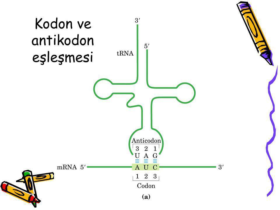 Kodon ve antikodon eşleşmesi