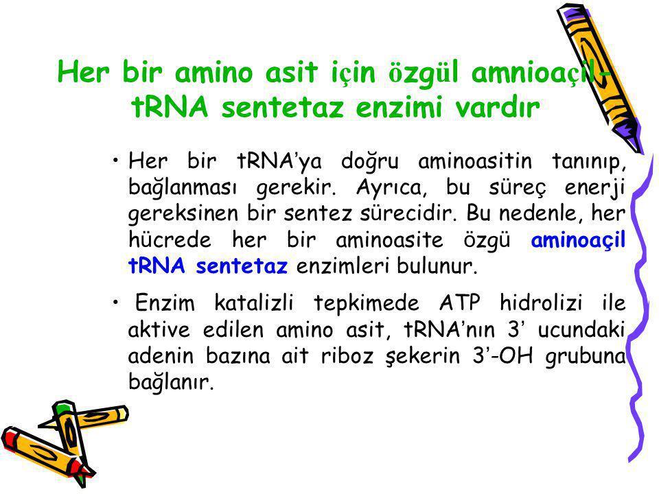 Her bir amino asit için özgül amnioaçil-tRNA sentetaz enzimi vardır