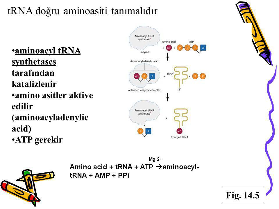 tRNA doğru aminoasiti tanımalıdır