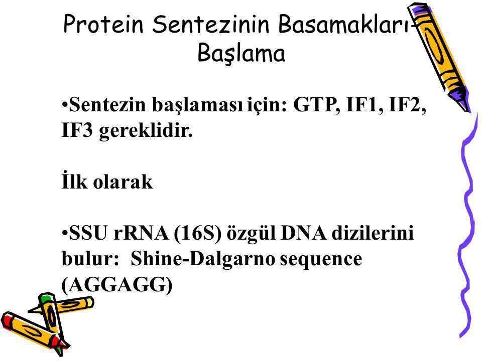 Protein Sentezinin Basamakları-Başlama