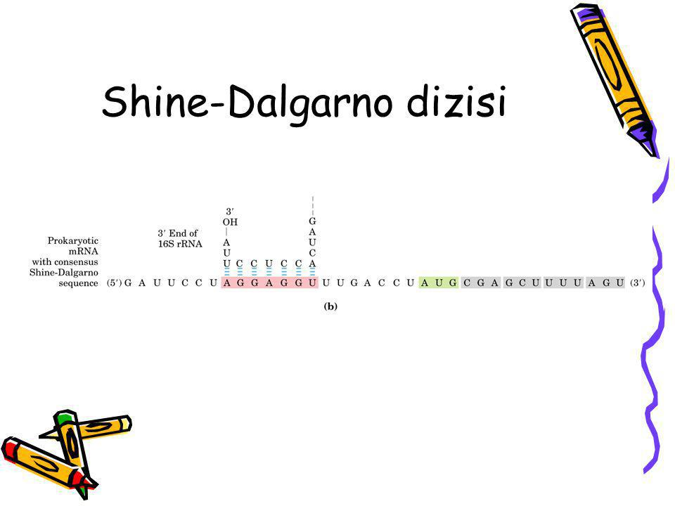 Shine-Dalgarno dizisi
