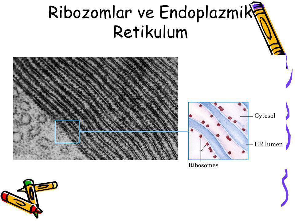 Ribozomlar ve Endoplazmik Retikulum