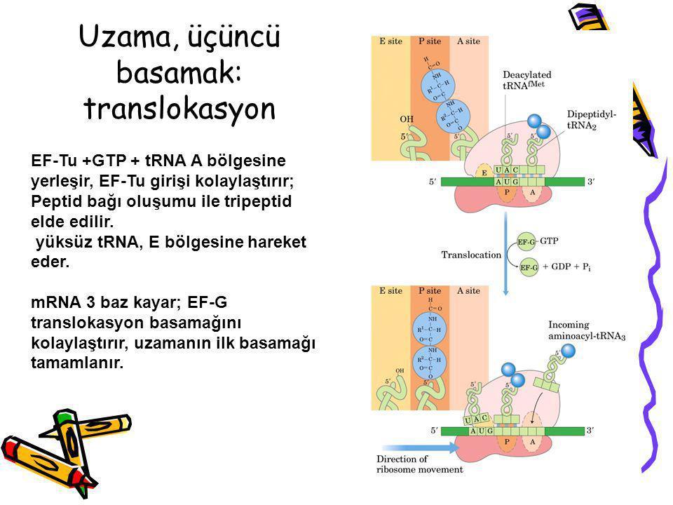 Uzama, üçüncü basamak: translokasyon