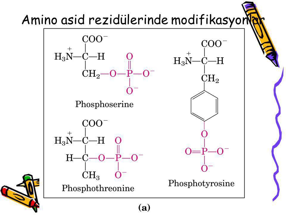 Amino asid rezidülerinde modifikasyonlar