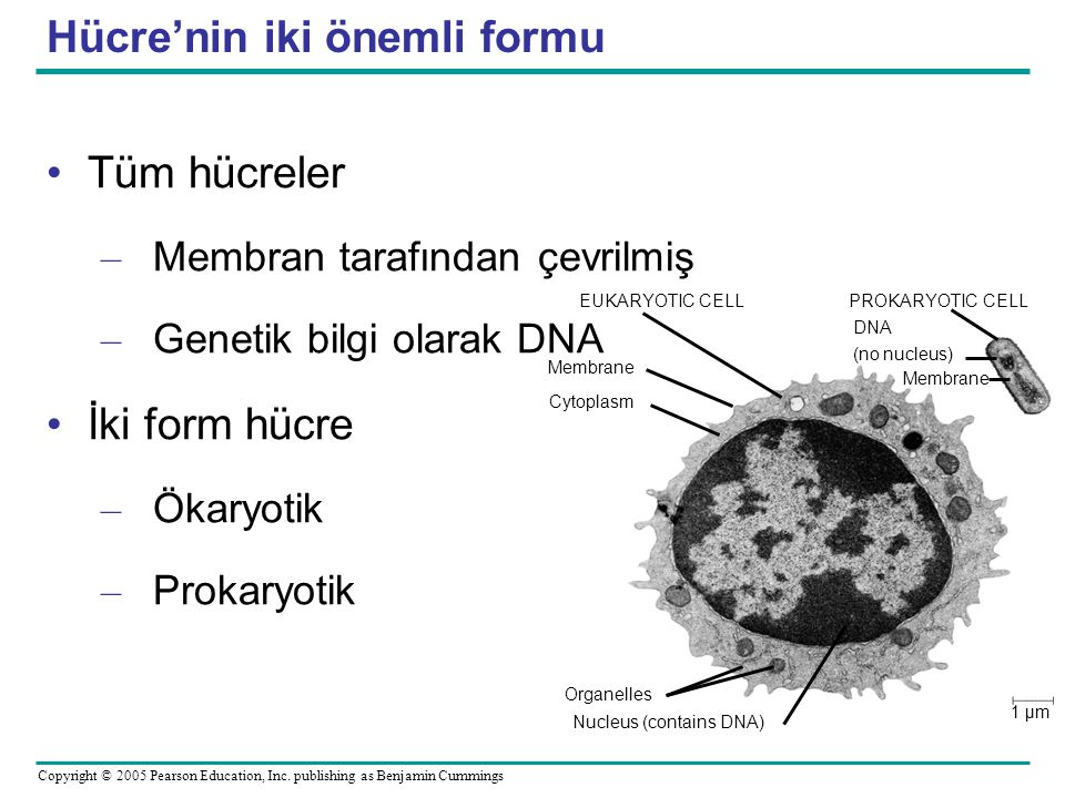 Hücre'nin iki önemli formu