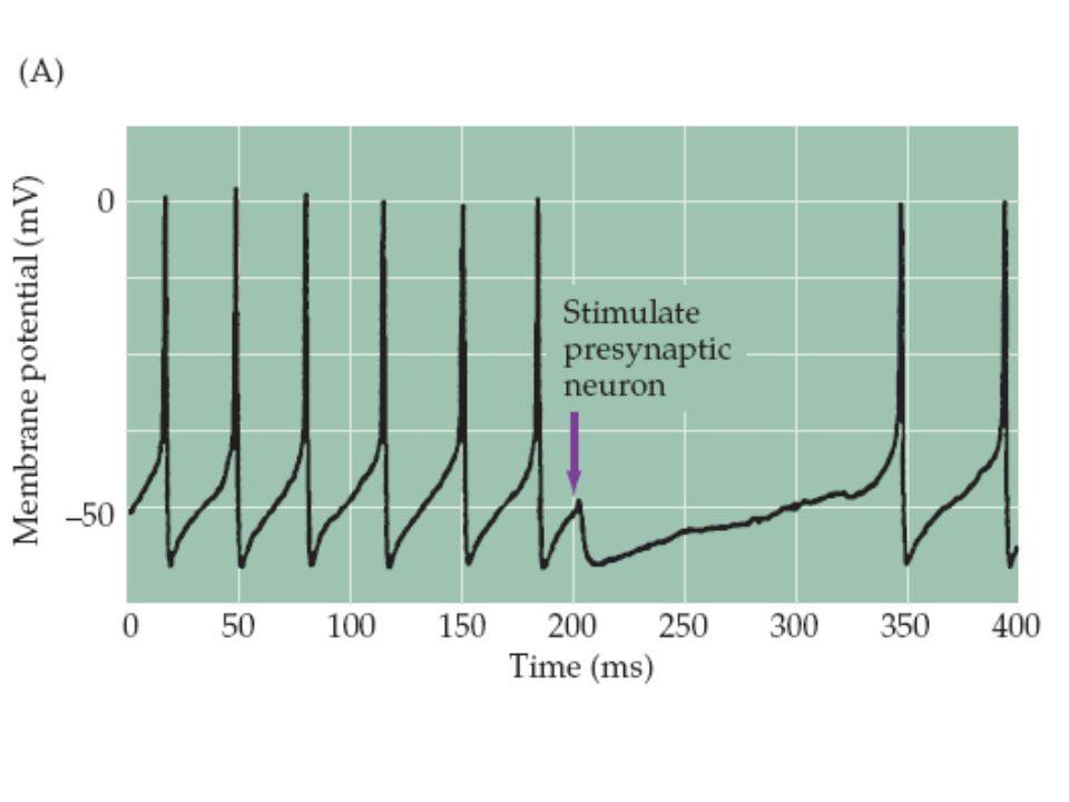Figure 6.9 Ionotropic GABA receptors. (A) Stimulation of a