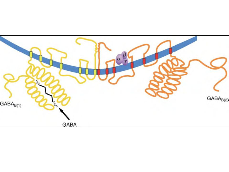FIGURE 1 Structure and function of the GABAB receptor
