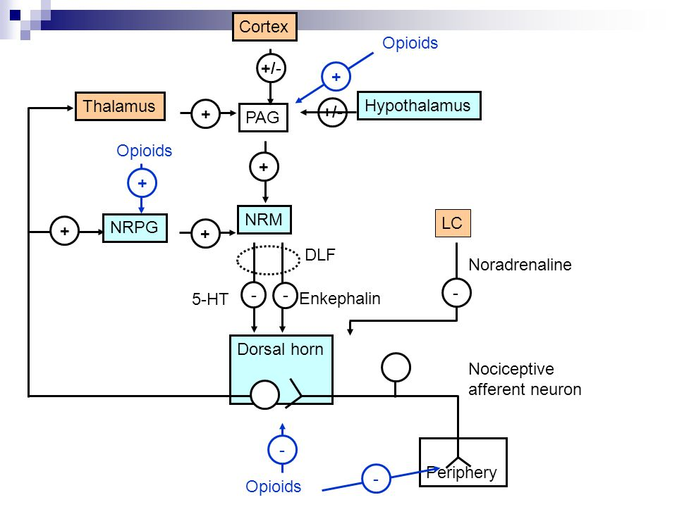 Opioids Cortex + Opioids +/- Thalamus Hypothalamus + +/- PAG + + NRM