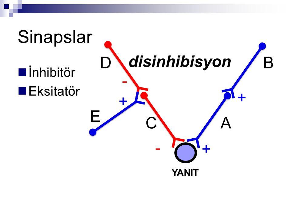 Sinapslar D disinhibisyon B İnhibitör Eksitatör - + + E C A - + YANIT