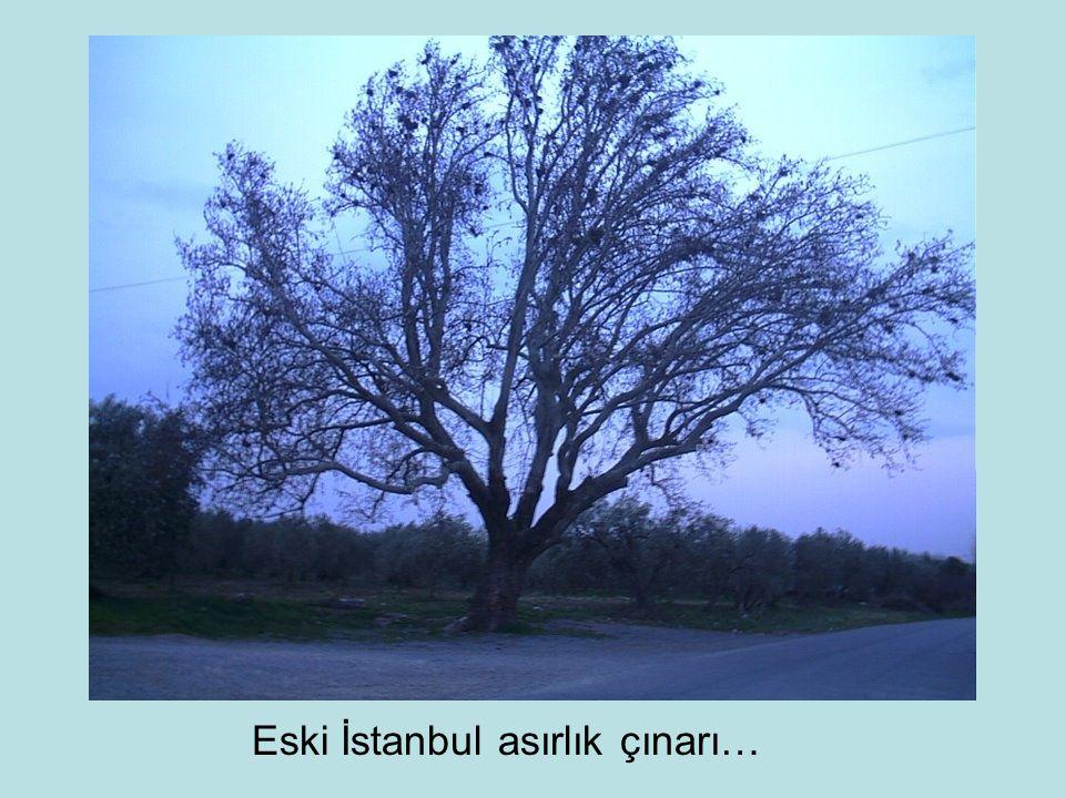 Eski İstanbul asırlık çınarı…