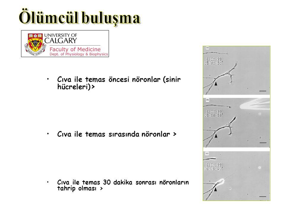 Ölümcül buluşma Cıva ile temas öncesi nöronlar (sinir hücreleri)>