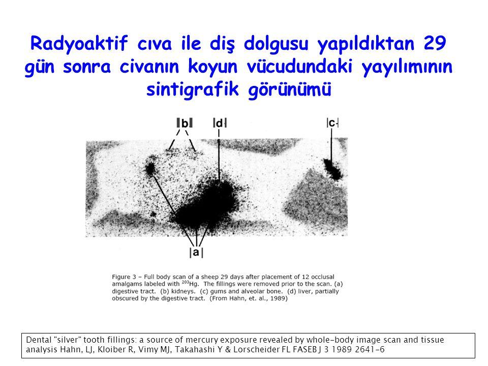 Radyoaktif cıva ile diş dolgusu yapıldıktan 29 gün sonra civanın koyun vücudundaki yayılımının sintigrafik görünümü