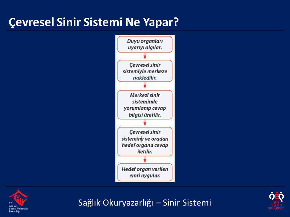 Çevresel Sinir Sistemi Ne Yapar