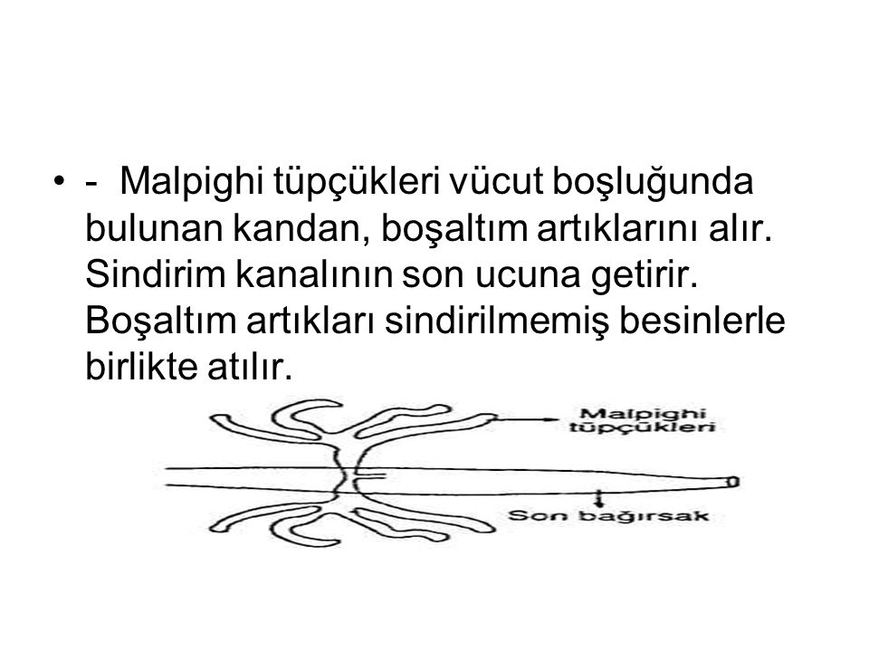 - Malpighi tüpçükleri vücut boşluğunda bulunan kandan, boşaltım artıklarını alır.