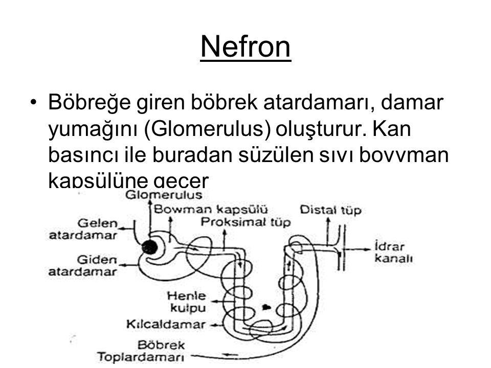 Nefron Böbreğe giren böbrek atardamarı, damar yumağını (Glomerulus) oluşturur.