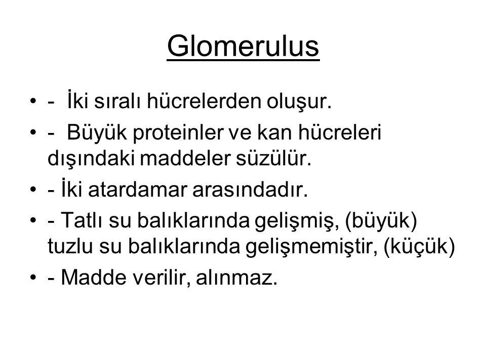 Glomerulus - İki sıralı hücrelerden oluşur.