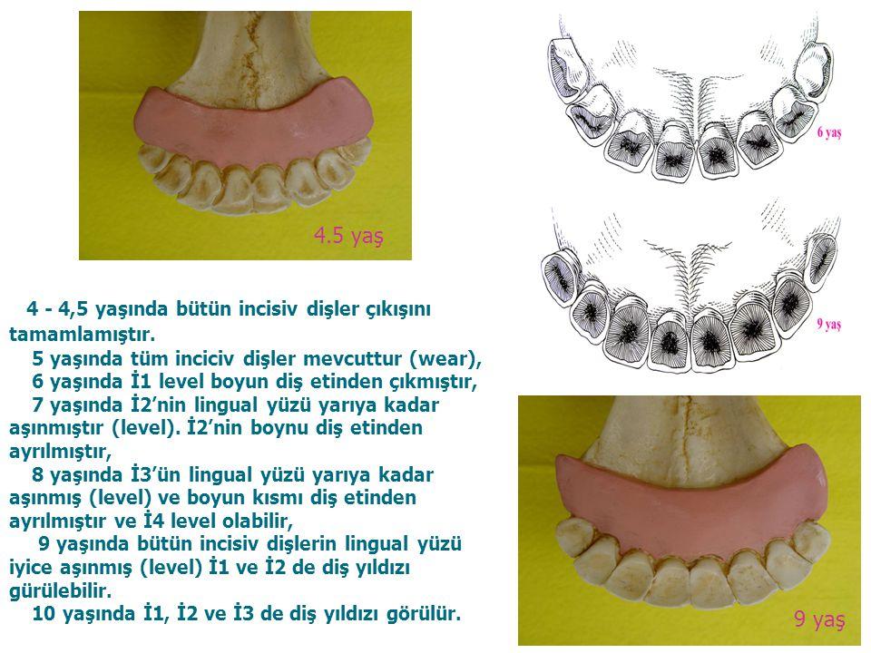 4.5 yaş 4 - 4,5 yaşında bütün incisiv dişler çıkışını tamamlamıştır. 5 yaşında tüm inciciv dişler mevcuttur (wear),