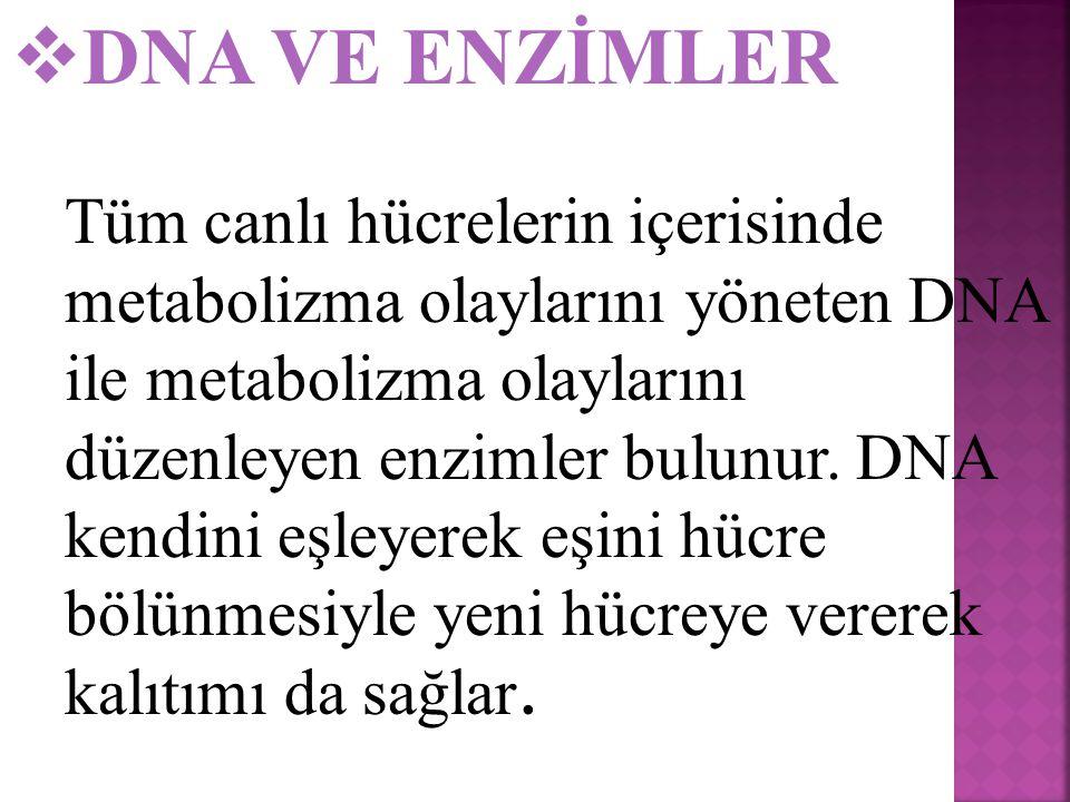 DNA VE ENZİMLER
