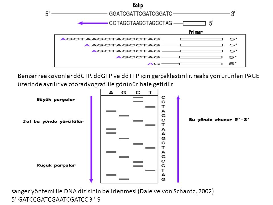 Benzer reaksiyonlar ddCTP, ddGTP ve ddTTP için gerçeklestirilir, reaksiyon ürünleri PAGE