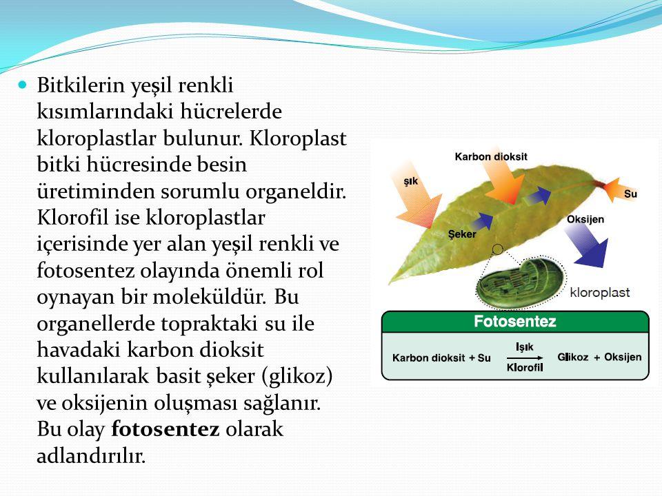 Bitkilerin yeşil renkli kısımlarındaki hücrelerde kloroplastlar bulunur.