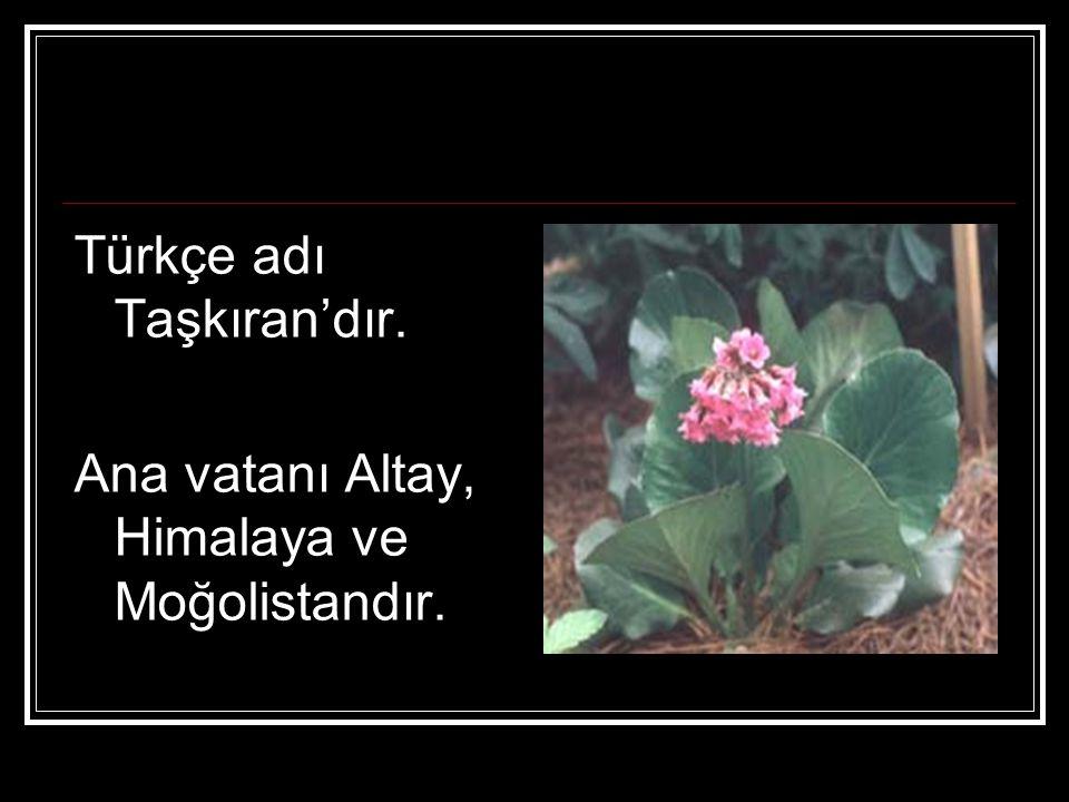 Türkçe adı Taşkıran'dır.