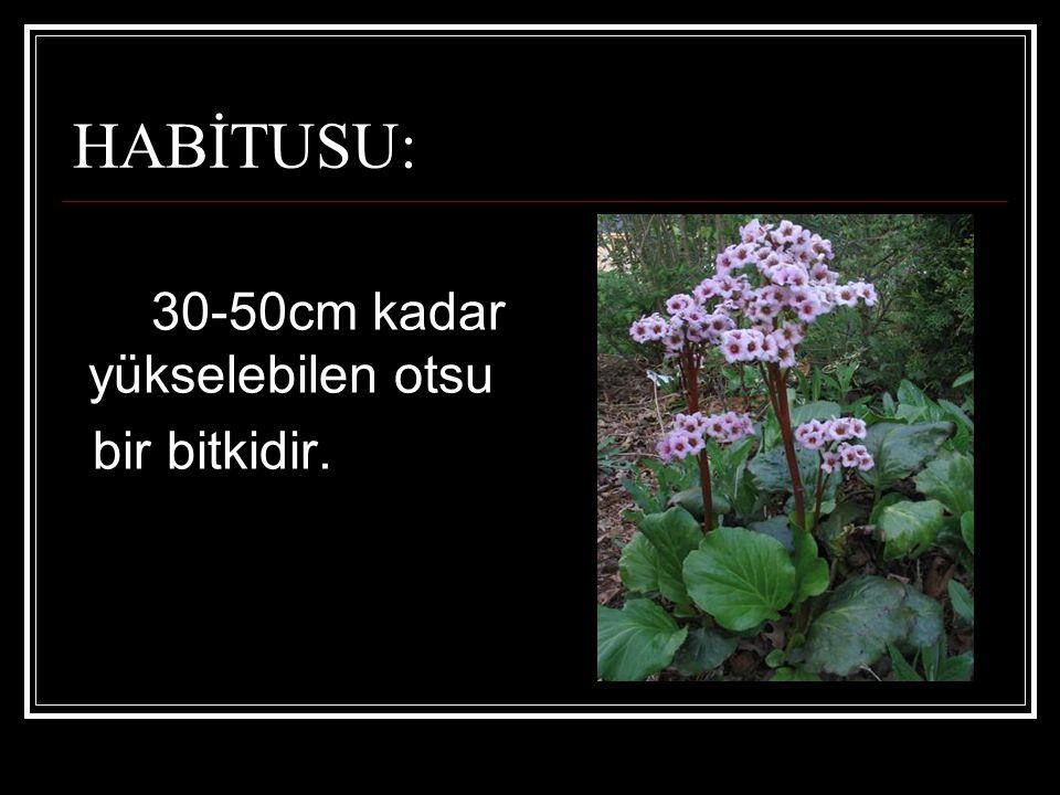 HABİTUSU: 30-50cm kadar yükselebilen otsu bir bitkidir.
