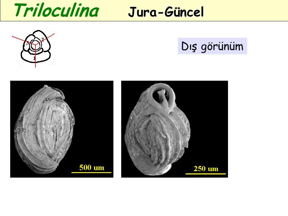Triloculina Jura-Güncel
