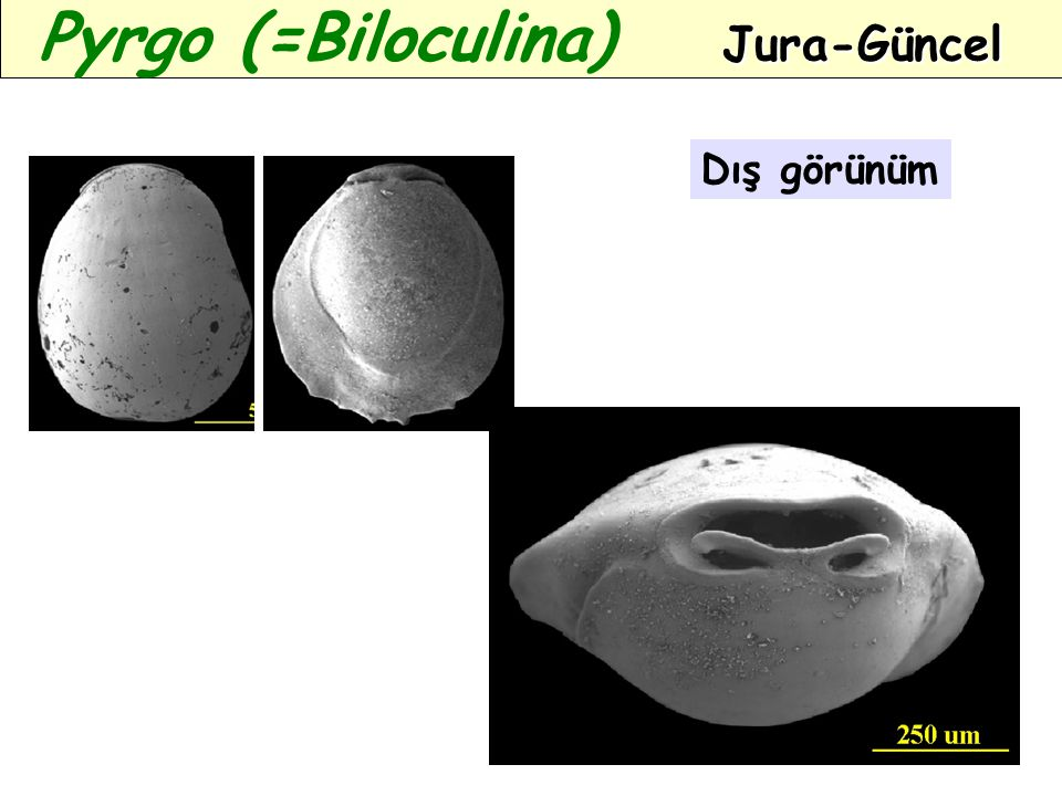 Pyrgo (=Biloculina) Jura-Güncel