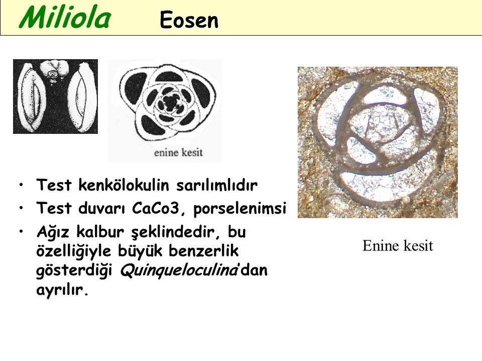 Miliola Eosen Test kenkölokulin sarılımlıdır
