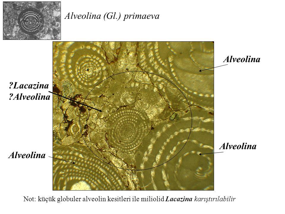 Alveolina (Gl.) primaeva