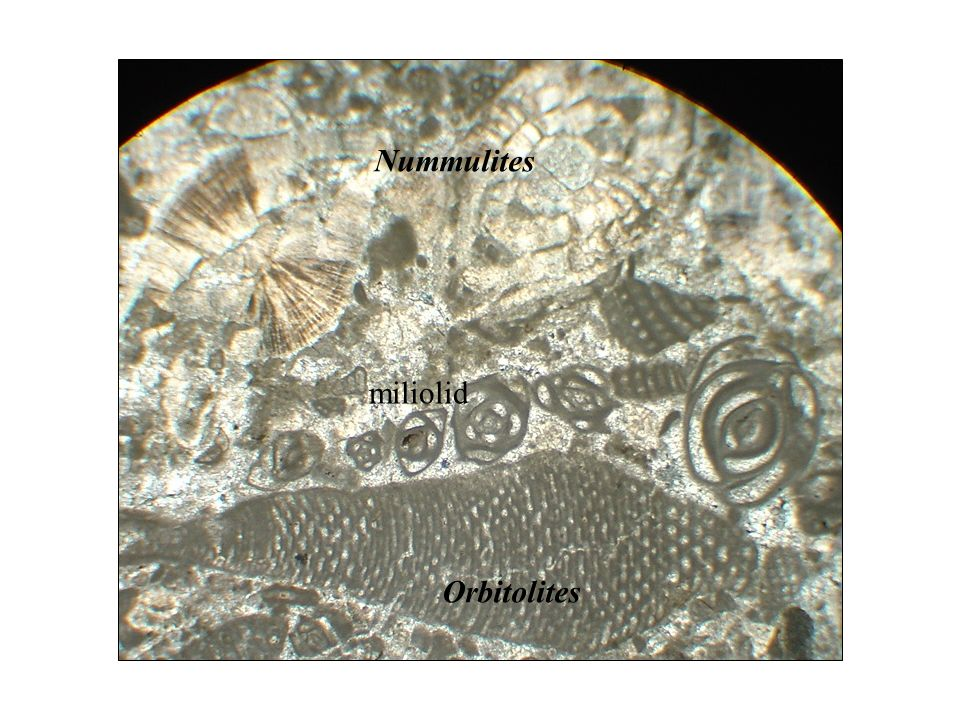 Nummulites miliolid Orbitolites