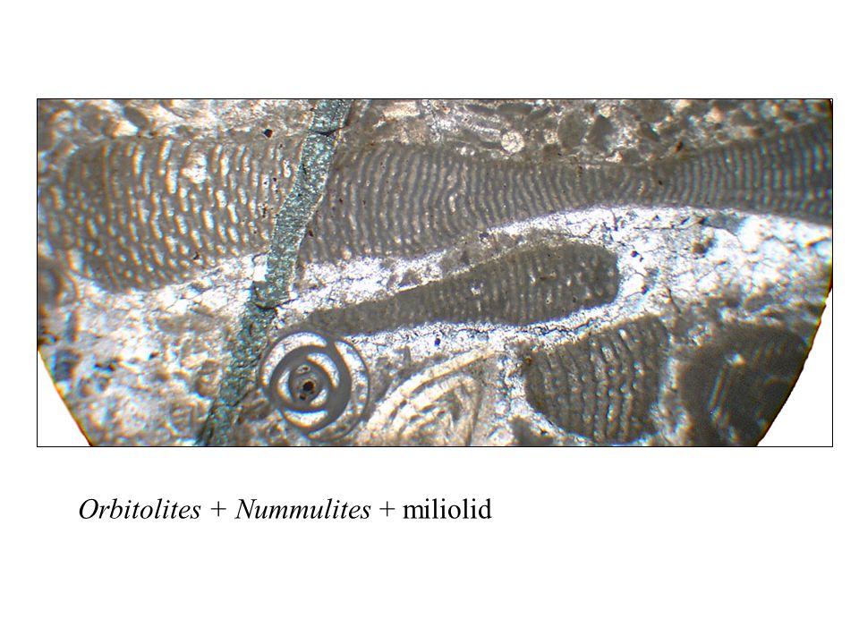 Orbitolites + Nummulites + miliolid