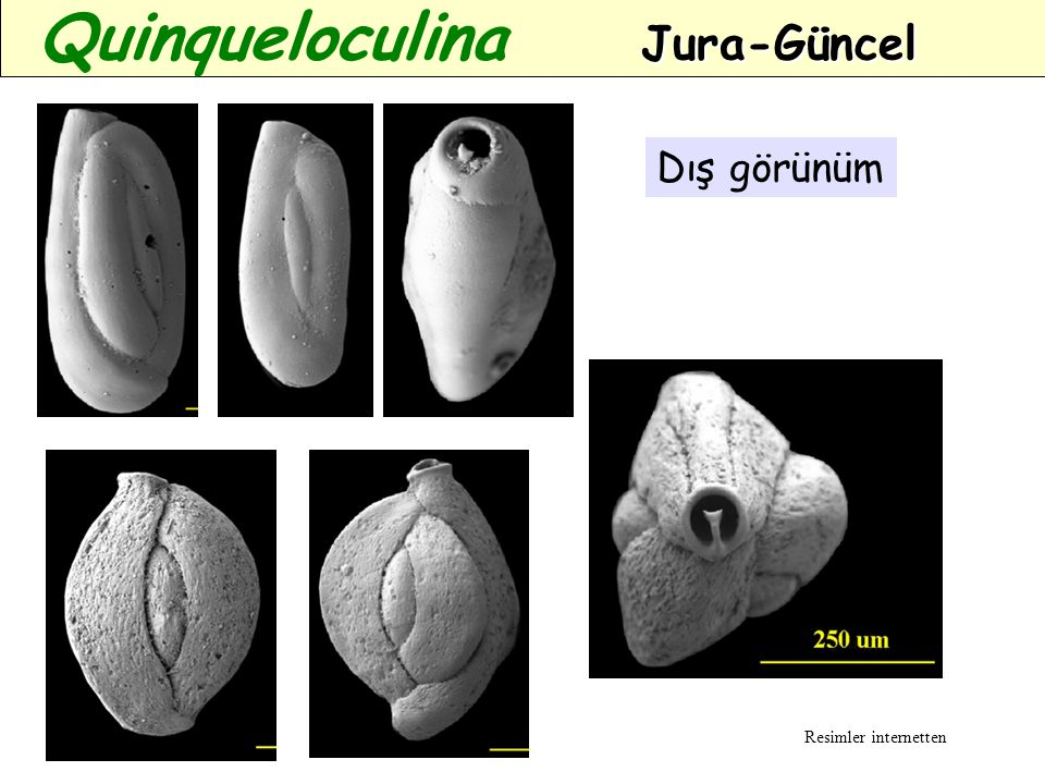 Quinqueloculina Jura-Güncel