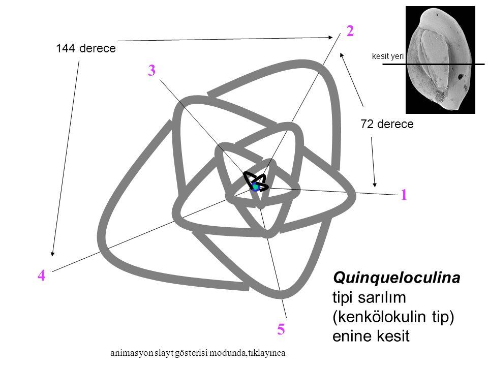 2 3 1 4 Quinqueloculina tipi sarılım (kenkölokulin tip) enine kesit 5