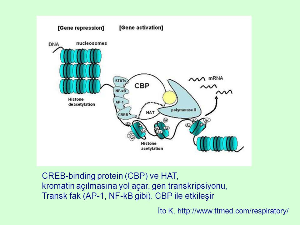 CREB-binding protein (CBP) ve HAT,
