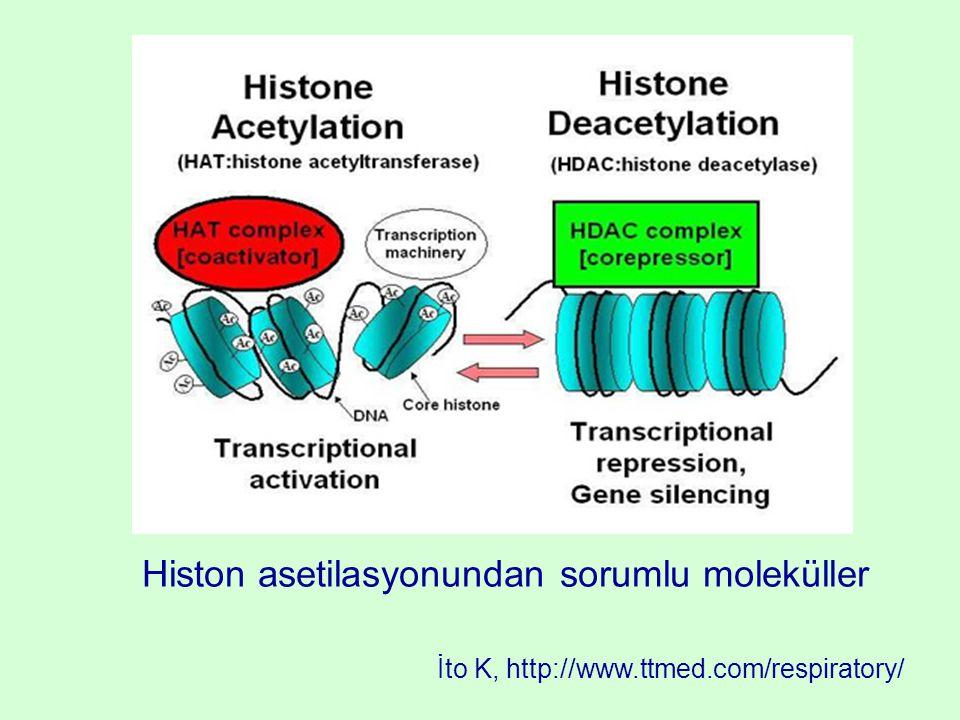 Histon asetilasyonundan sorumlu moleküller