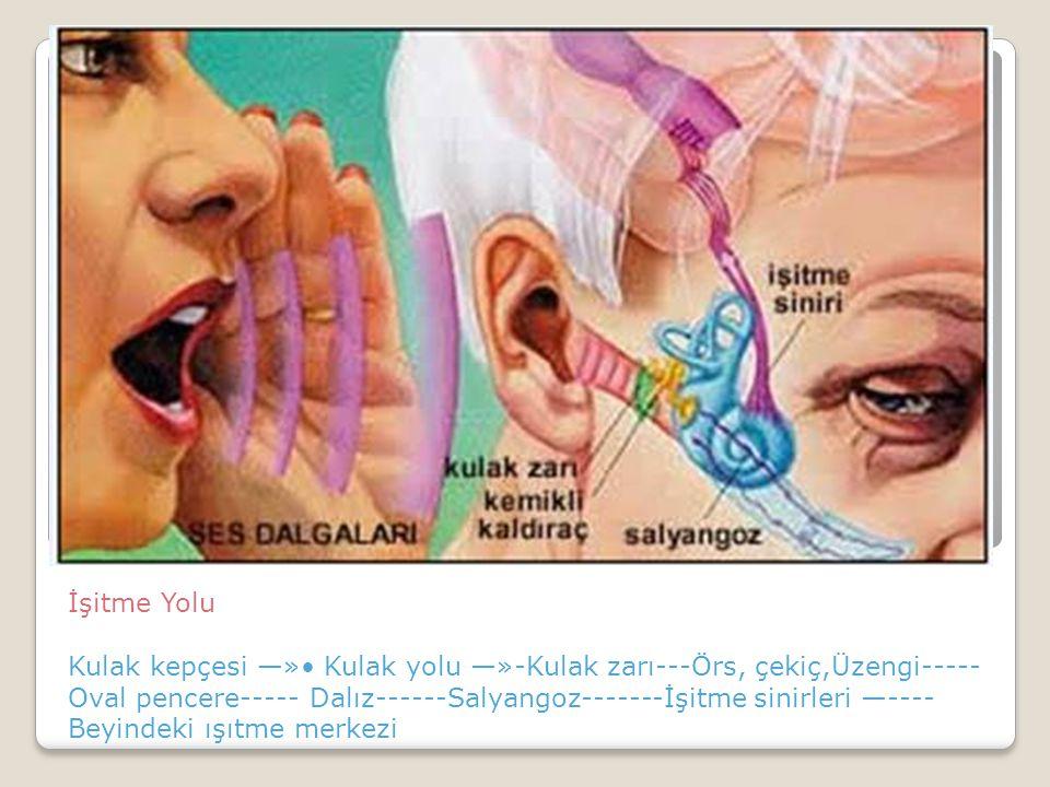 İşitme Yolu Kulak kepçesi —»• Kulak yolu —»-Kulak zarı---Örs, çekiç,Üzengi-----Oval pencere----- Dalız------Salyangoz-------İşitme sinirleri —---- Beyindeki ışıtme merkezi