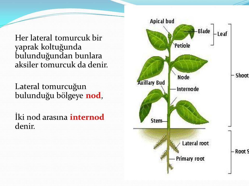 Her lateral tomurcuk bir yaprak koltuğunda bulunduğundan bunlara aksiler tomurcuk da denir.