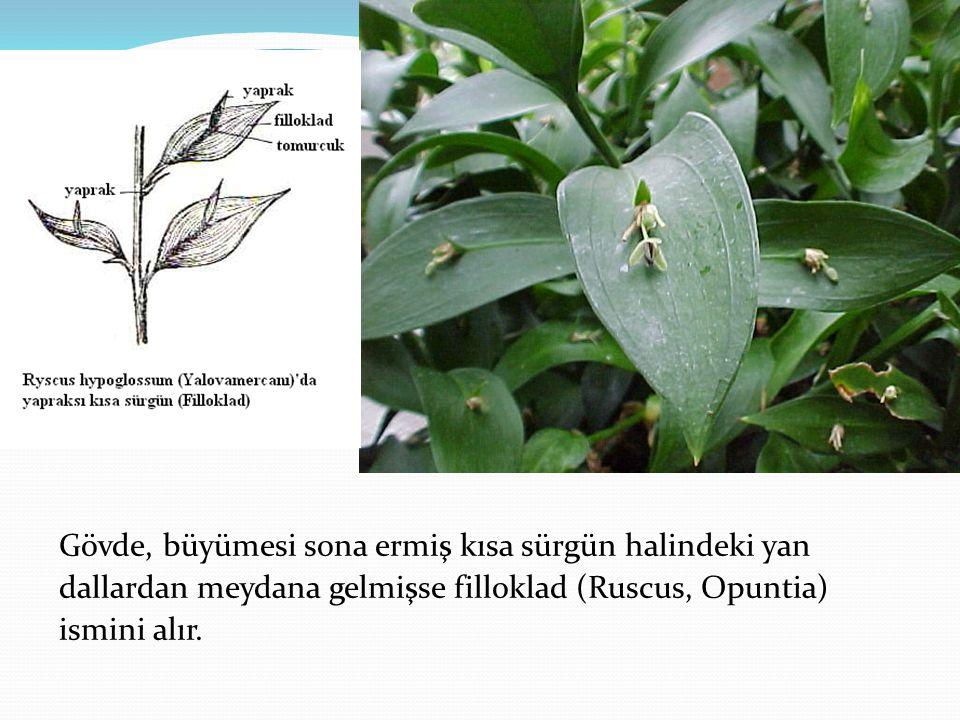 Gövde, büyümesi sona ermiş kısa sürgün halindeki yan dallardan meydana gelmişse filloklad (Ruscus, Opuntia) ismini alır.