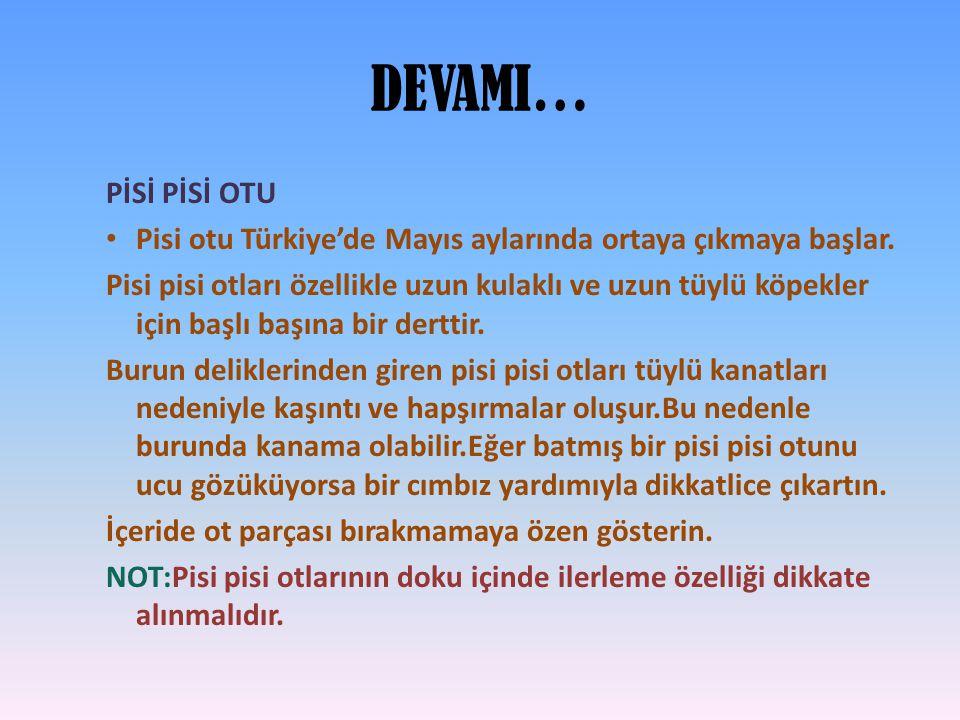 DEVAMI… PİSİ PİSİ OTU. Pisi otu Türkiye'de Mayıs aylarında ortaya çıkmaya başlar.