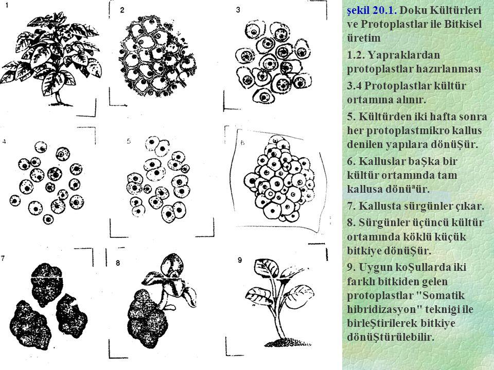 şekil 20.1. Doku Kültürleri ve Protoplastlar ile Bitkisel üretim