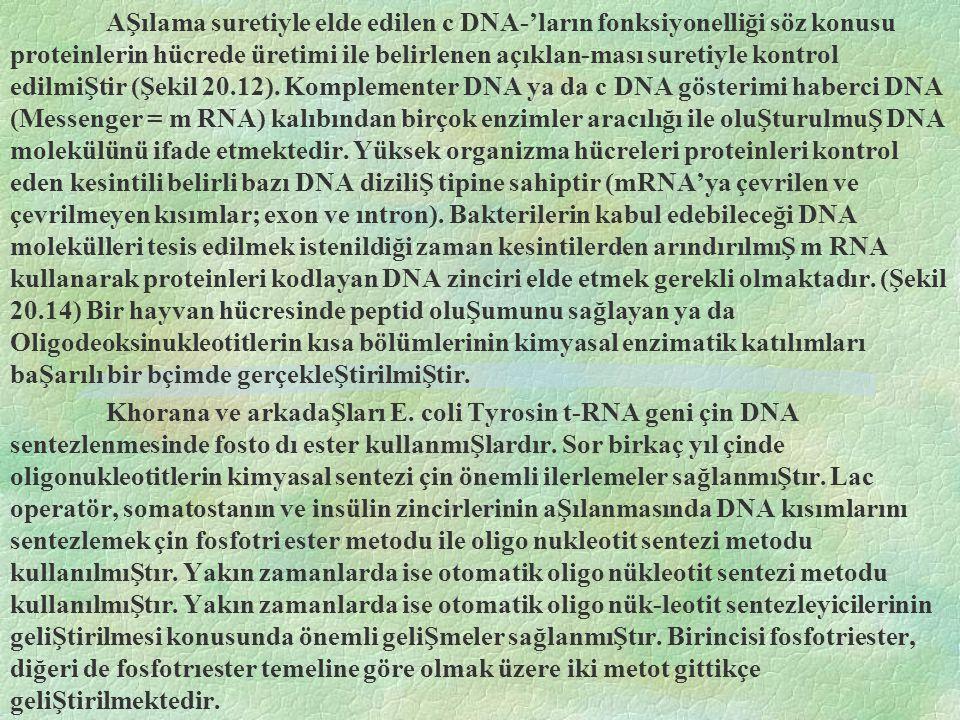 AŞılama suretiyle elde edilen c DNA-'ların fonksiyonelliği söz konusu proteinlerin hücrede üretimi ile belirlenen açıklan-ması suretiyle kontrol edilmiŞtir (Şekil 20.12). Komplementer DNA ya da c DNA gösterimi haberci DNA (Messenger = m RNA) kalıbından birçok enzimler aracılığı ile oluŞturulmuŞ DNA molekülünü ifade etmektedir. Yüksek organizma hücreleri proteinleri kontrol eden kesintili belirli bazı DNA diziliŞ tipine sahiptir (mRNA'ya çevrilen ve çevrilmeyen kısımlar; exon ve ıntron). Bakterilerin kabul edebileceği DNA molekülleri tesis edilmek istenildiği zaman kesintilerden arındırılmıŞ m RNA kullanarak proteinleri kodlayan DNA zinciri elde etmek gerekli olmaktadır. (Şekil 20.14) Bir hayvan hücresinde peptid oluŞumunu sağlayan ya da Oligodeoksinukleotitlerin kısa bölümlerinin kimyasal enzimatik katılımları baŞarılı bir bçimde gerçekleŞtirilmiŞtir.